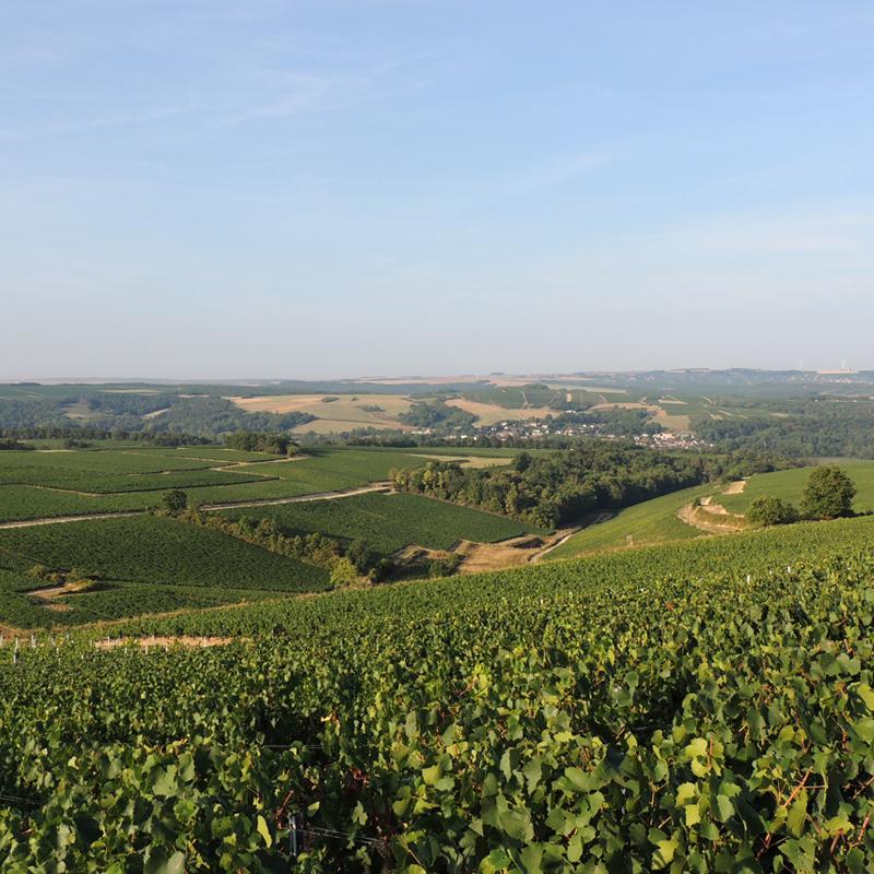 vignes de chichée