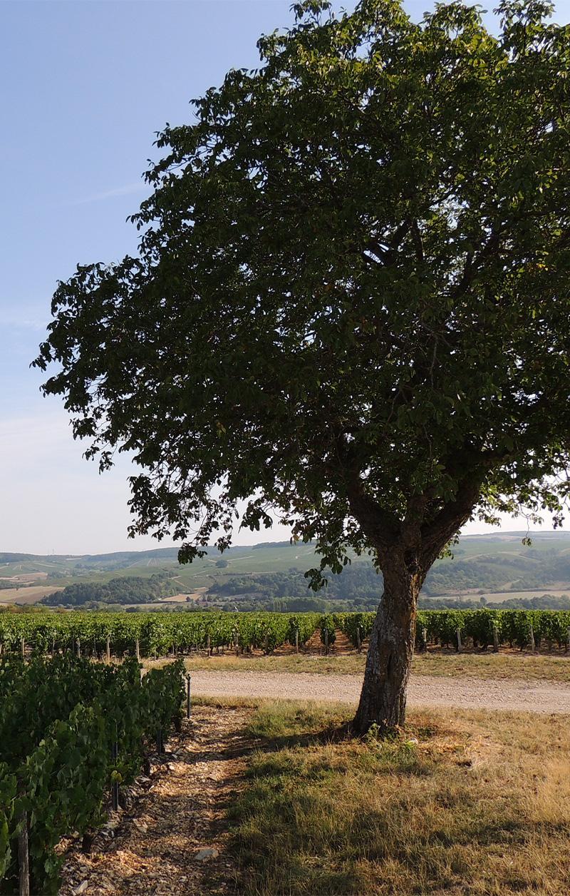 arbre dans les vignes de Chichée
