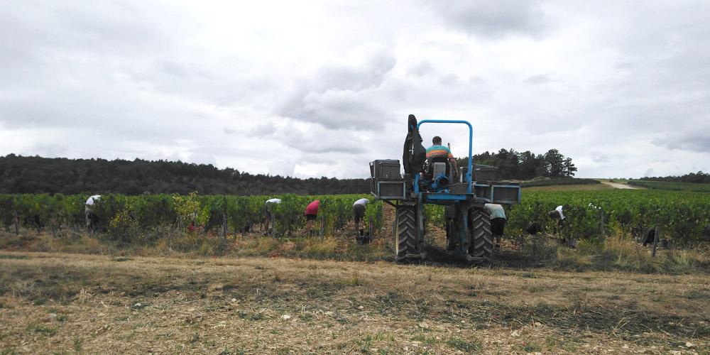 Vendanges manuelles avec ramassage du raisin avec le tracteur dans les vignes